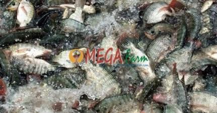 Jual Bibit Ikan Nila Monosex Murah