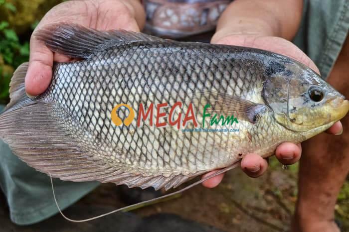 ikan gurame berkualitas