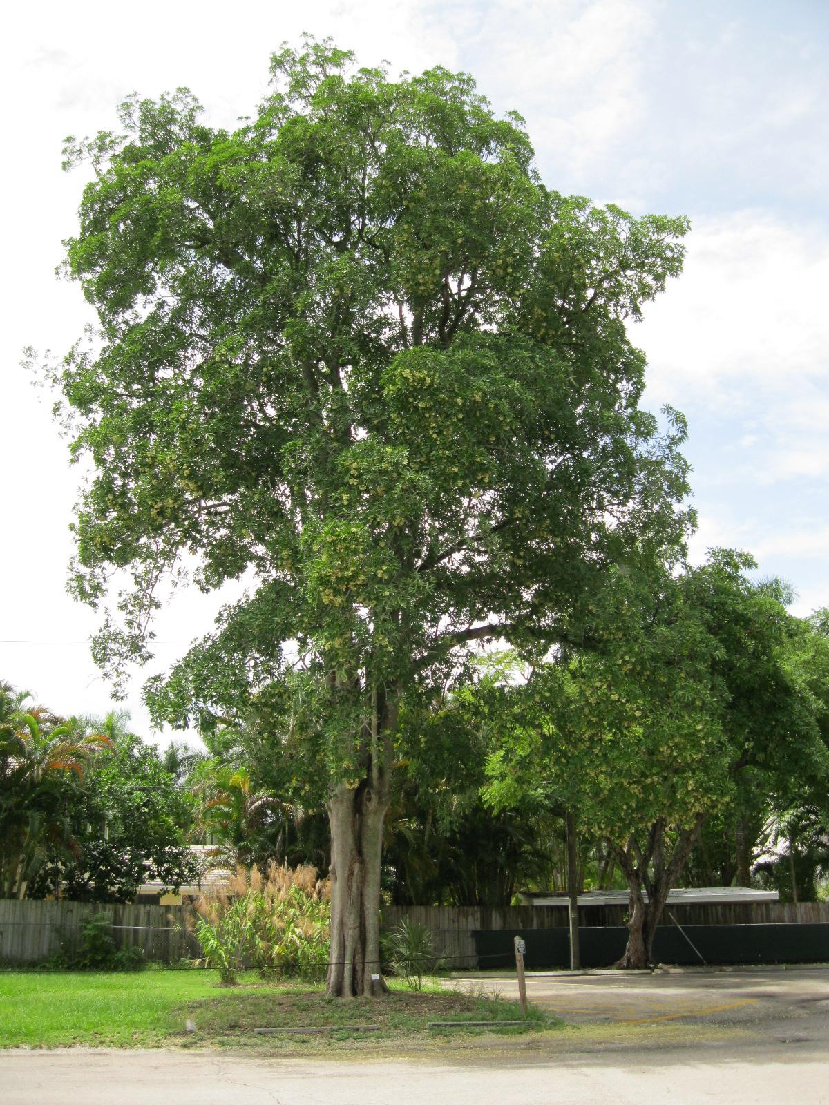 pohon pule  Jual Aneka Bibit Pohon dan Tanaman Hias