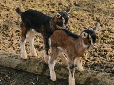 BoYoung Goat