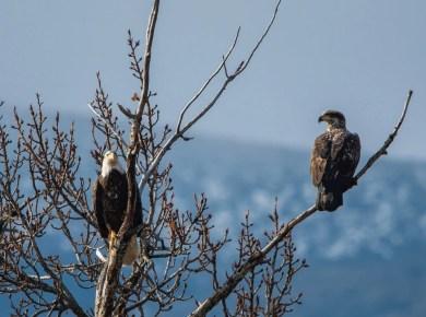 Ezekiel 17,  Two Eagles and a Vine