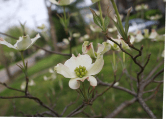 Sometimes a dogwood is just a dogwood*