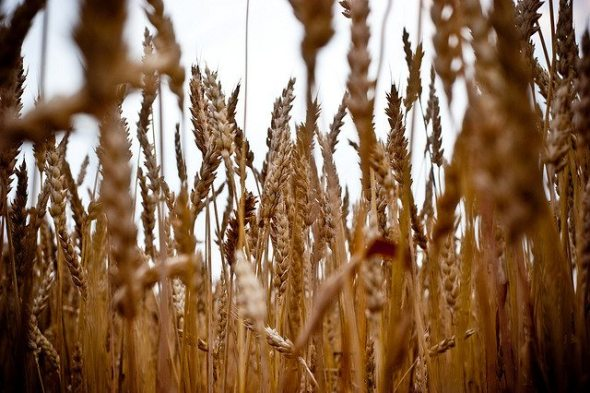 Field, Flowers, Grain, Nature, Outdoors, Plants, Processed, Summer, Vignette, Wheat, United States