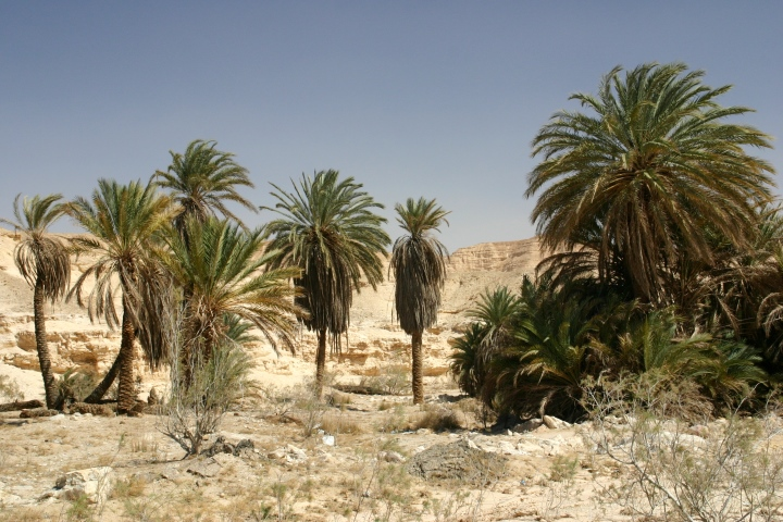 Image result for date palm in sinai