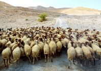 Large flock of sheep walking through the wilderness