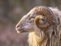 Ram of ancient breed of long-tailed sheep portrait sideview