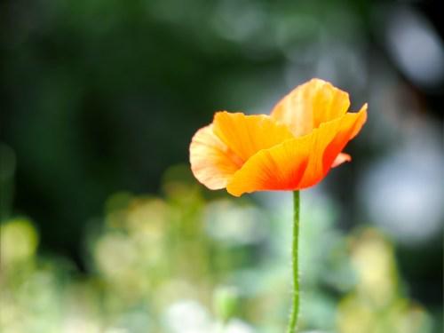 Flower orange - red poppy on green natural background