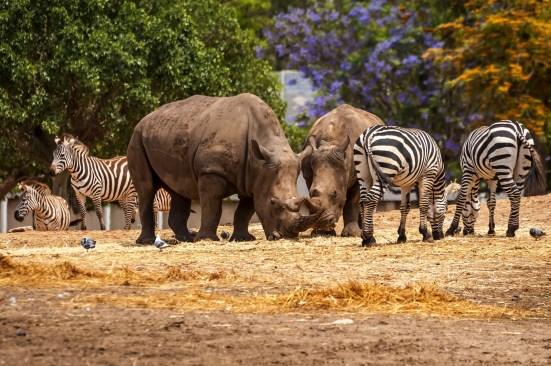 Rhinoceros And Zebras Walking In The Wild In The Ramat Gan Safar