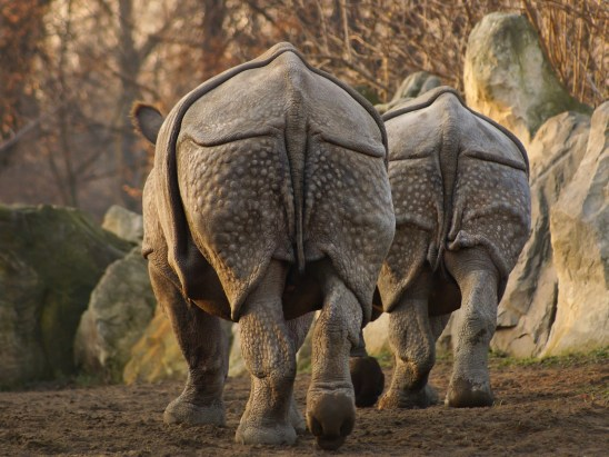 Indian rhinoceros (Rhinoceros unicornis) , rear view