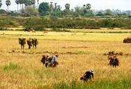 Cambogia la raccolta del riso