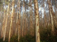 Eucalyptus forest. These are pests in Spain.