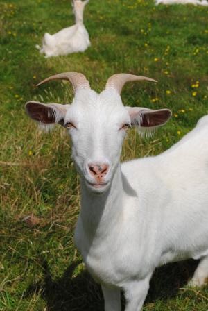 A rather handsome NZ goat