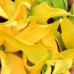 Dầu hoa Y Lan