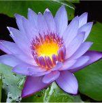 埃及藍睡蓮花