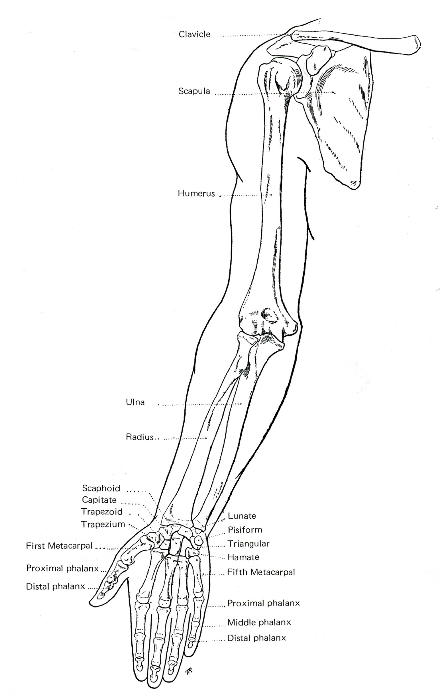 arm-shoulder-skelton-e1375303126860.jpg