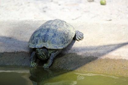 turtle-1427411610mzw