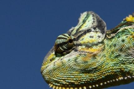 Reptile Close Chameleon Green Chamaeleo Calyptratus