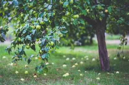 apple-tree-6035