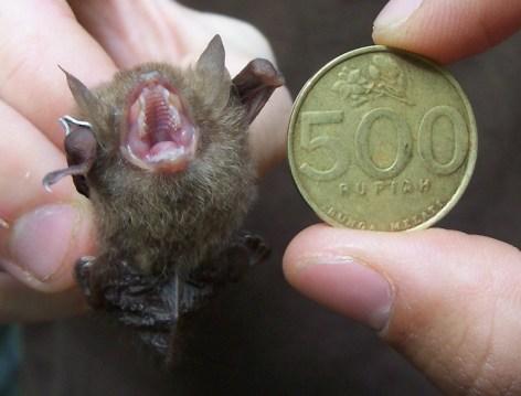 Smallest bat in Indonesia :)