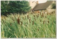 Reedmace (commonly, bulrushes)