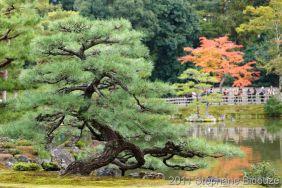twisted pine tree