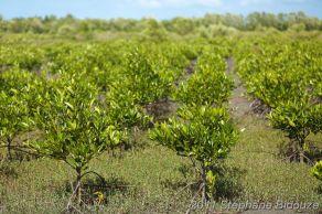 young mangrove plantation