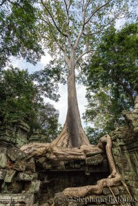 Banyan tree in Angkor