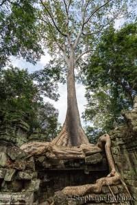 Banyan tree in Angkor