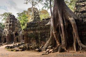 Angkor tree roots