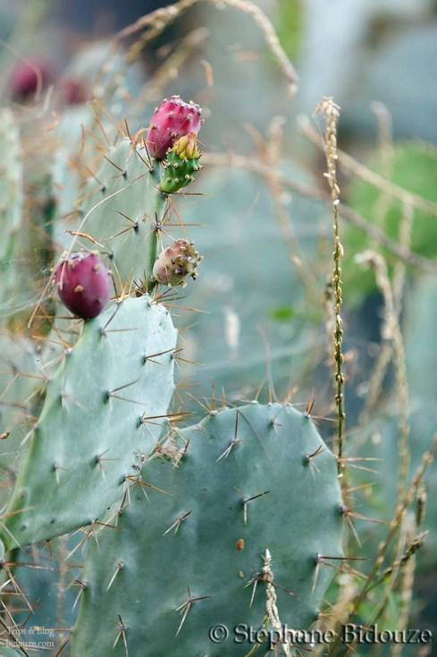 Barbary Cactus