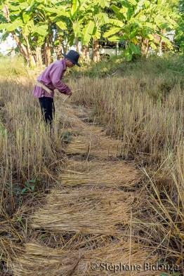 rice-field-farmer-thai