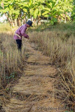 rice-field-farmer-thai