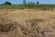 rice-field-harvested-sugar-cane