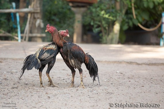 cock-fighting-thailand