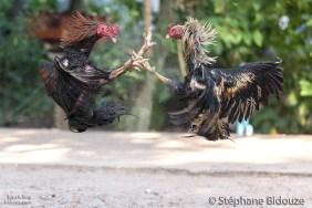 combat-coq-thailande