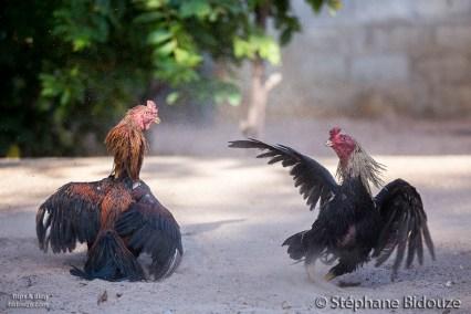 combat de coq-thailande