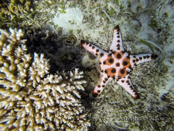 sea-star-etoile-mer-philippines