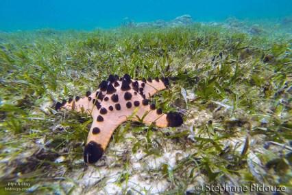 Une étoile de mer commune dans les zones de graminées sous marine