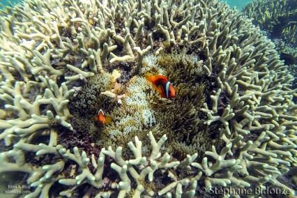 clown-poisson-coraux-mantigue-camiguin