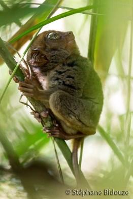 tarsier-bohol-primate-singe
