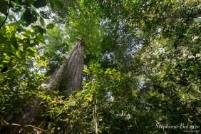 foret-khao-sok-arbre-chew-larn