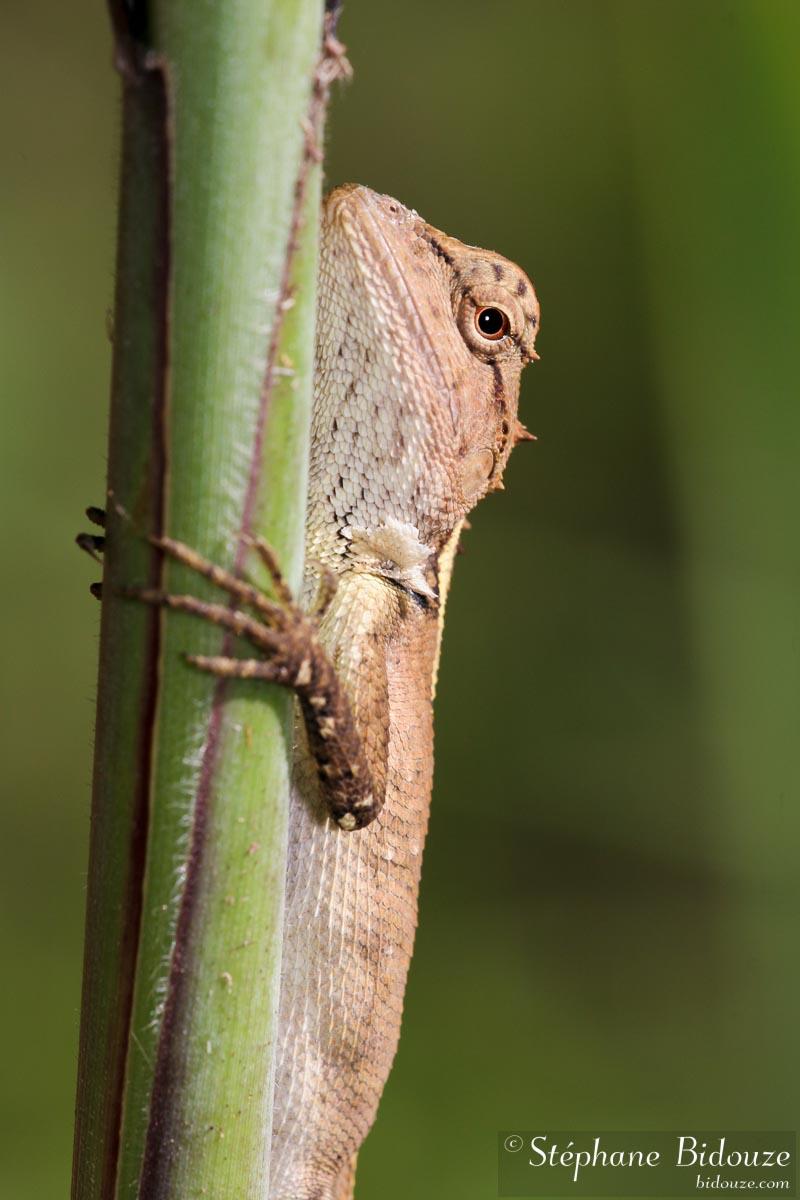 An agamidae family lizard