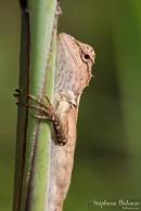 lézard-thailande-agamidae