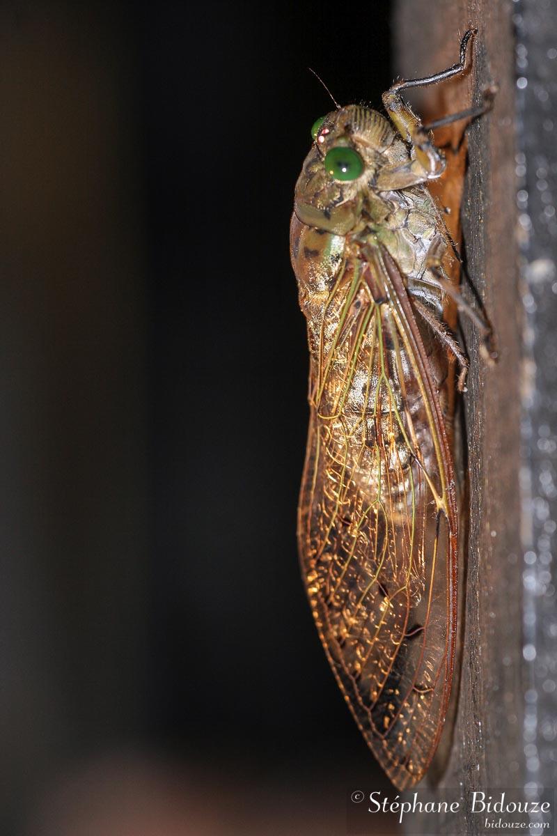 Megapomponia cicada species