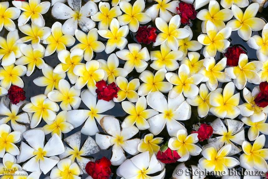 plumeria-frangipanier-fleur-