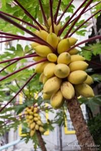 papaye-arbre-mures