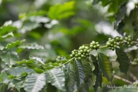 caféier-thailande-village-graine