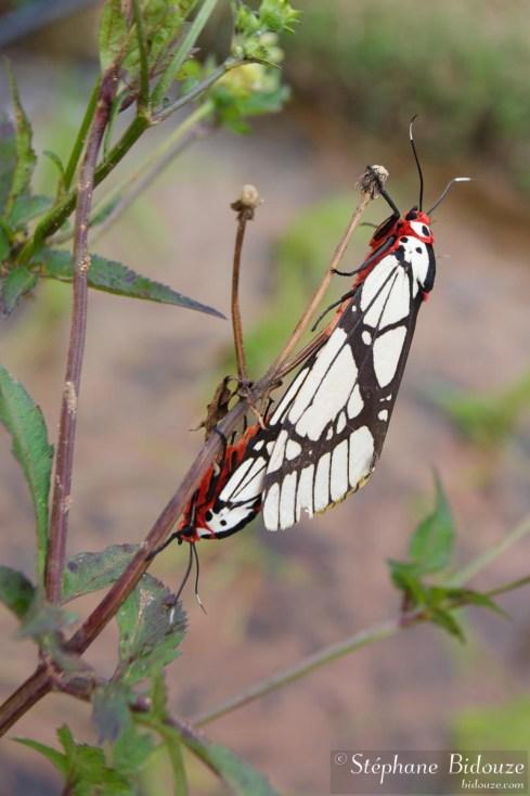 papillon-nuit-accouplement-thailande