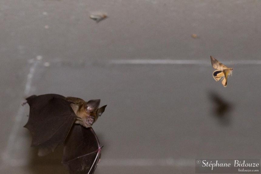 chauve-souris-chassant-papillon