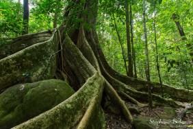ficus-figuier-jungle-khao-yai